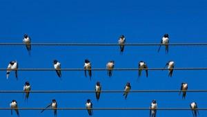 BarnSwallowsSouthAfrica