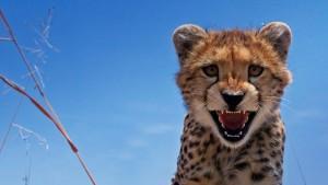 CheetahMaasaiMaraKenya