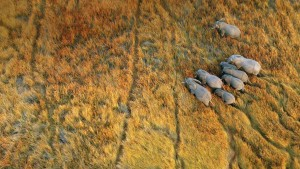 ElephantsOnOkavangoDelta_Botswana