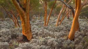 EucalyptusTreesAustralia
