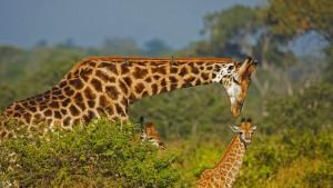 GiraffeDad_1366x768