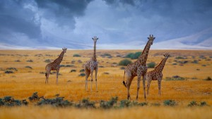 GiraffesNamibia