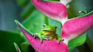 GreenTreeFrogHeliconiaFlowerAustralia