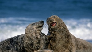 GreySeals_Germany_1366x768