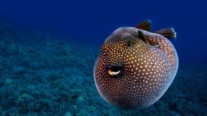 GuineafowlPufferfishHawaiiUSA