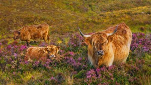 HighlandCowsHeather_Scotland