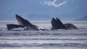 HumpbackwalesAlaska