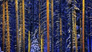 JasperTrees_Canada_1920x1080