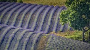LavenderValensole_France_1920x1080