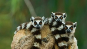 LemurBabies_Madagascar