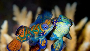 MatingMandarinFish_Indonesia