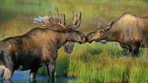 MooseKiss_Alaska