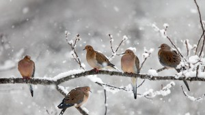 MourningDoves_Canada_1366x768