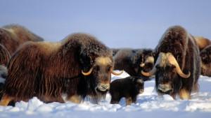 NorthSlopeMuskox_AlaskaUSA