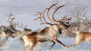 NorwayReindeer