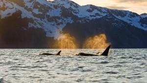 OrcasKenaiFjords_Alaska