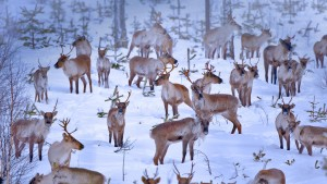 OuluReindeers_Finland_1920x1080