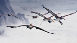 PelicanMigration_OreganUSA