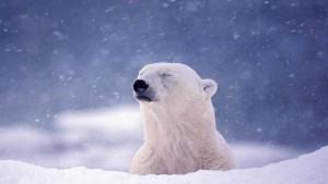 PolarBearCanada