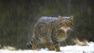 ScottishWildcat_Scotland