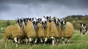 SheepFlock_England