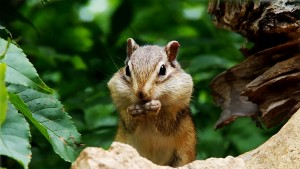 SiberianChipmunk_Japan