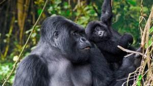 SilverbackDad_Rwanda