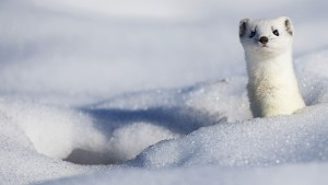 SnowyStoat_Winter