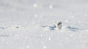 StoatWinter_France_1366x768
