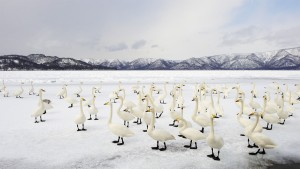 SwanWinterSolstice_Japan