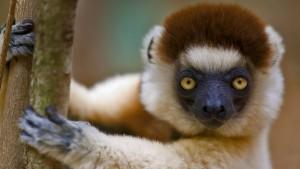 VerreauxsSifaka_Madagascar_1920x1080