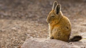 Viscacha_AndesChile_1366x768