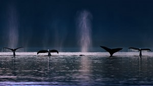 WhaleSounds_AlaskaUSA_1366x768