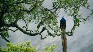 YalaNPPeafowl_SriLanka_1366x768