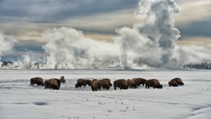 YellowstoneNPBuffalo_USA